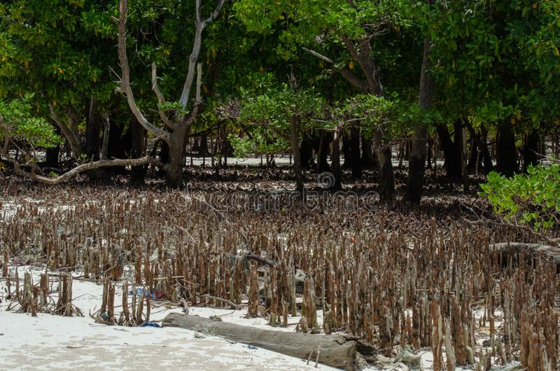Rizomas Zanzibar dos manguezais, Tanzânia, em fevereiro de 2019 foto de stock