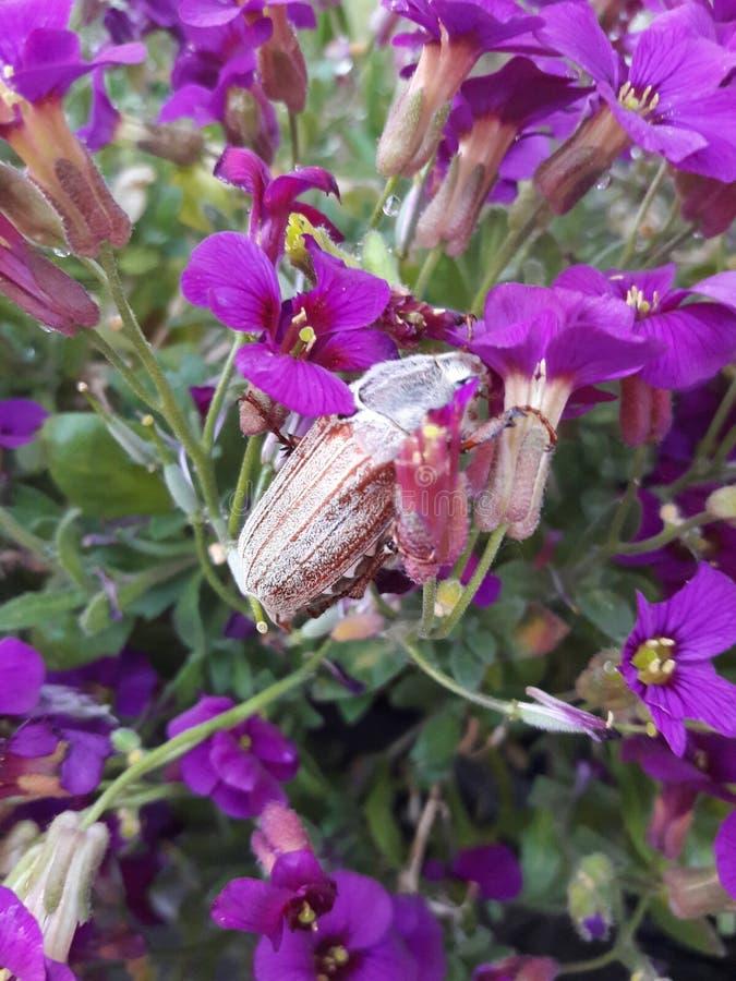 Rizotrogo dell'insetto di maggio sui fiori immagini stock