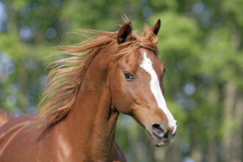 Head of chestnut Arabian Stallion with flying mane, galloping, closeup royalty free stock image