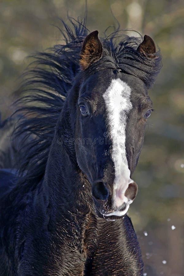 Black Arabian Stallion galloping, head closeup. Closeup of beautiful Black Arabian Stallion galloping at winter pasture, frontal view stock photo