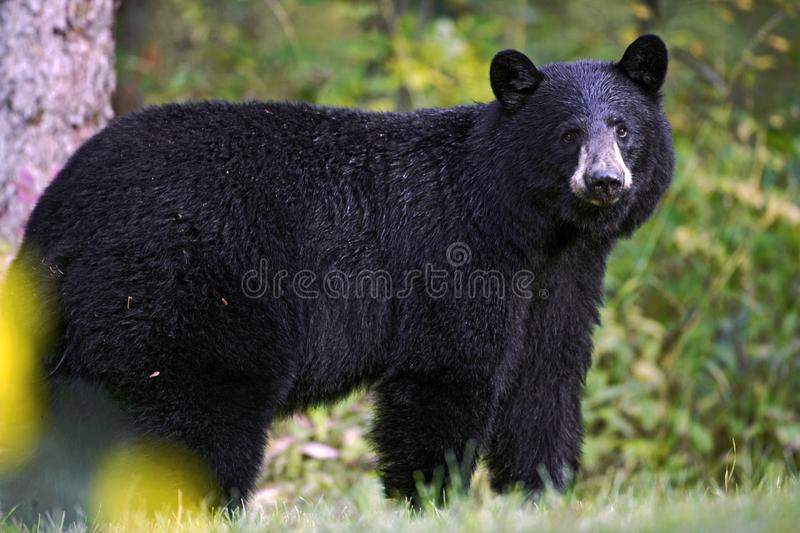 Big Black Bear looking, alert, portrait close up. Curious big Black Bear standing at edge of forest, watching, portrait closeup royalty free stock photography