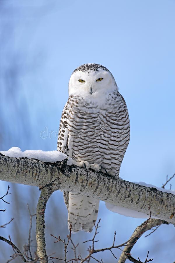 Snowy Owl in winter sitting on broken tree, blue  sky. Snowy Owl on sunny winter morning, perched on tree branch, hunting.  Nyctea scandiaca stock image