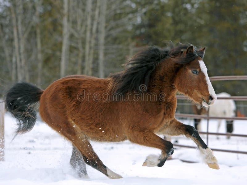 RKD-MG8501Welsh Pony Bay Stallion que galopa no pasto no fim da neve acima fotografia de stock royalty free