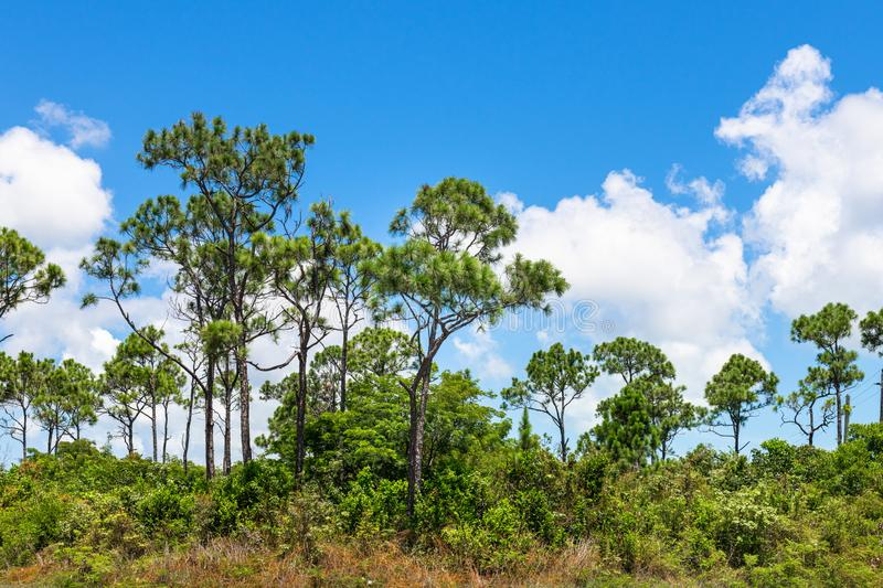 Bahamian Pineyard during the daytime stock images