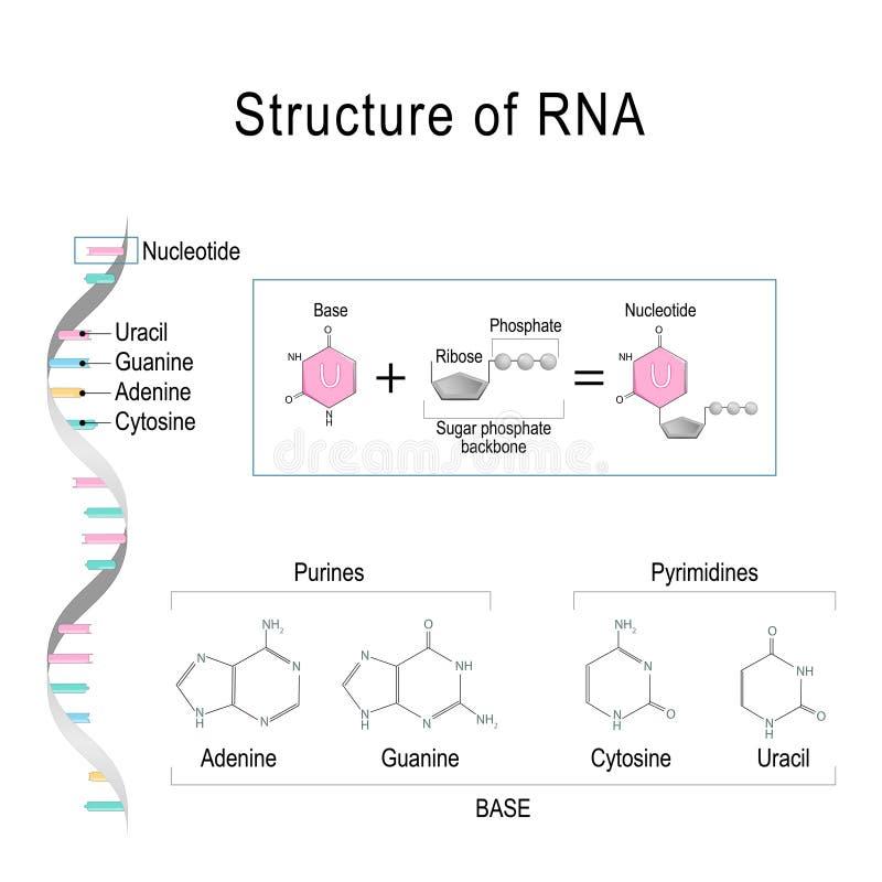 RNA structure. Adenine, Cytosine, uracil, Guanine, Ribose, Nucleotide, Pyrimidine, Purine, and Sugar phosphate backbone. RNA structure. Pyrimidine, Purine, and vector illustration