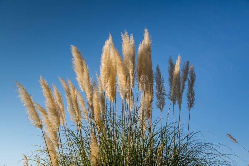 Roślina pampasów trawa Hunker Pióropusze pampasy trawa przeciw niebieskiemu niebu fotografia stock