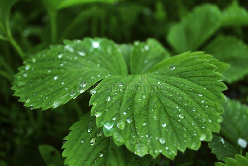 Rośliien truskawki w ranku po deszczu obraz royalty free
