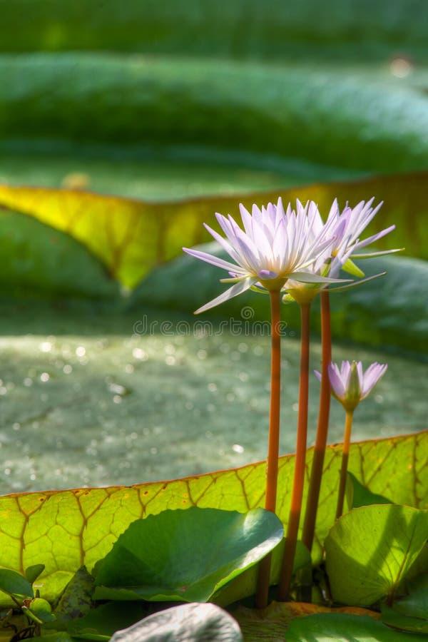 roślin wodnych zdjęcie royalty free