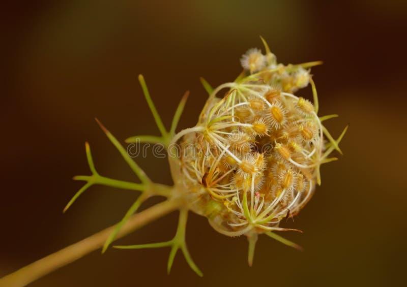 Roślina śródpolny kmin obrazy royalty free