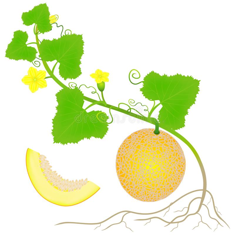 Roślina żółty melon z korzeniami odizolowywającymi na białym tle ilustracja wektor
