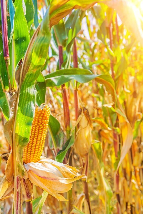 Roślina dojrzały kukurydzany Instagram przełaz zdjęcie royalty free