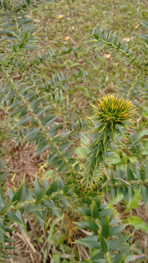 roślina kłująca obraz royalty free