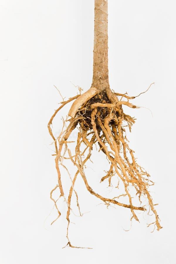 Roślina korzeń zdjęcie stock