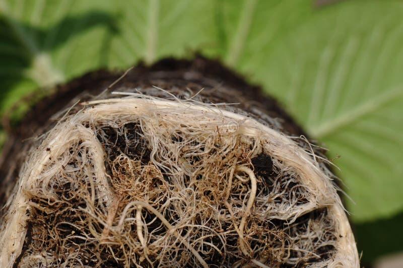 Roślina korzenie zdjęcie royalty free