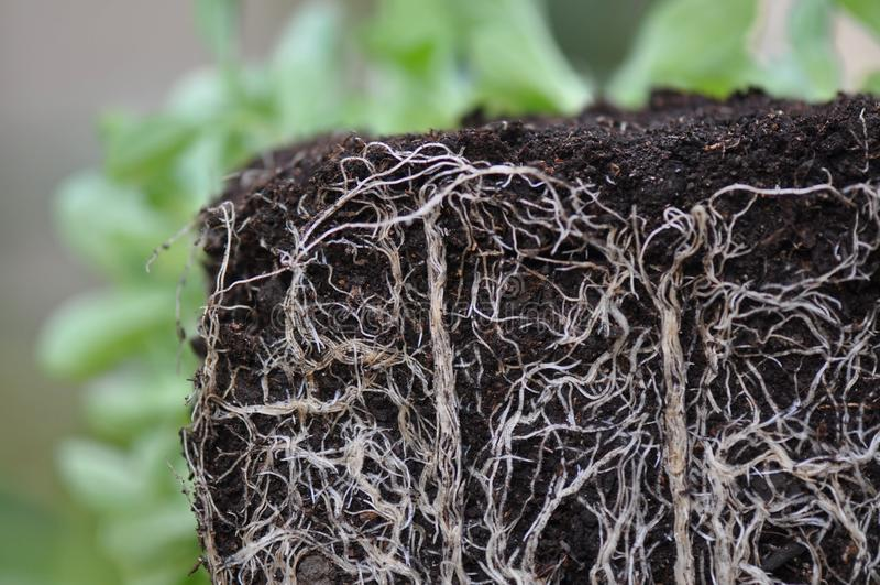 Roślina korzenie zdjęcia royalty free