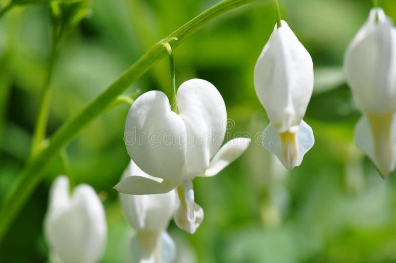 roślina krwawiący kierowy biel obrazy royalty free