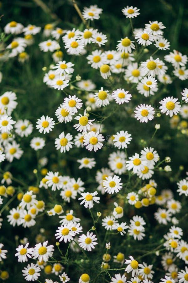 Roślina krzaka gęstego chamomile biali kwiaty łąkowi obrazy royalty free