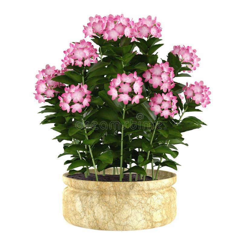 Roślina kwiatu krzak w garnku odizolowywającym royalty ilustracja