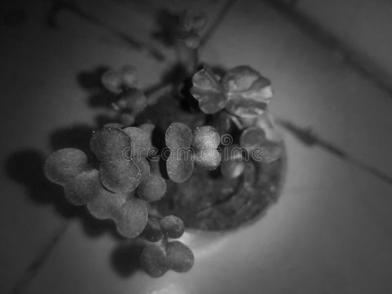 Roślina Mastard Dwa dni Stary i x28;Czarno-biały i x29; zdjęcie royalty free