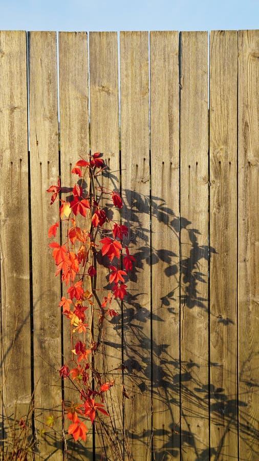 Roślina na ogrodzeniu obraz royalty free