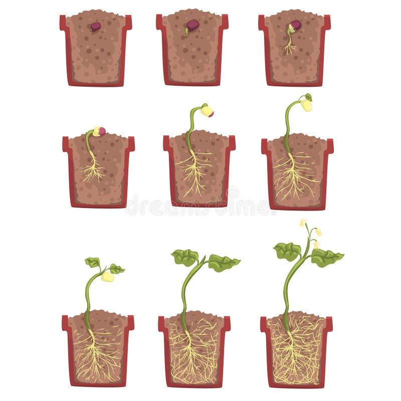 Roślina Nasieniodajny przyrost, rozwój I Zakorzeniać Wśrodku kwiatu garnka, Klasyczny botanika podręcznik Edukacyjny Infographic ilustracji