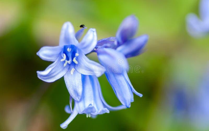 Roślina portreta hiszpańszczyzn bluebell obraz stock
