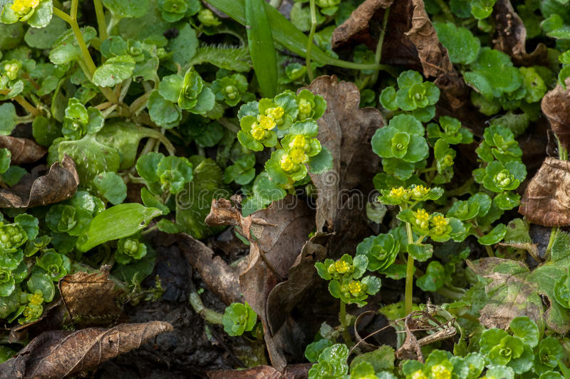 Roślina portreta liściasty złoty badan zdjęcia stock