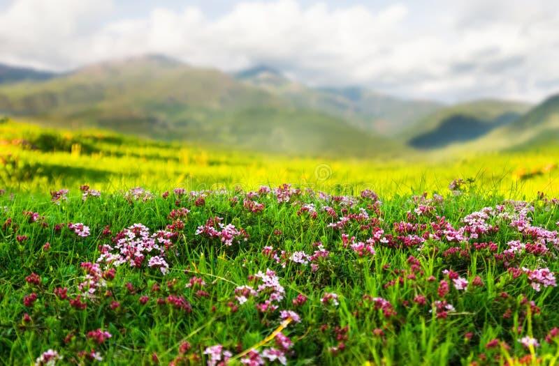 Roślina przy Alpejską łąką w Pyrenees zdjęcie stock