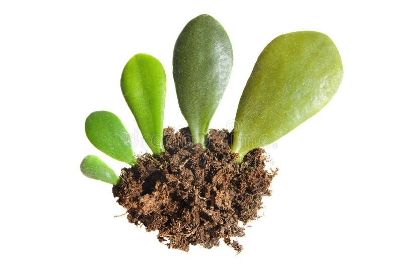 Roślina przyrost w cyklu starzenie się, konceptualnym na białym odosobnionym tle zdjęcie royalty free