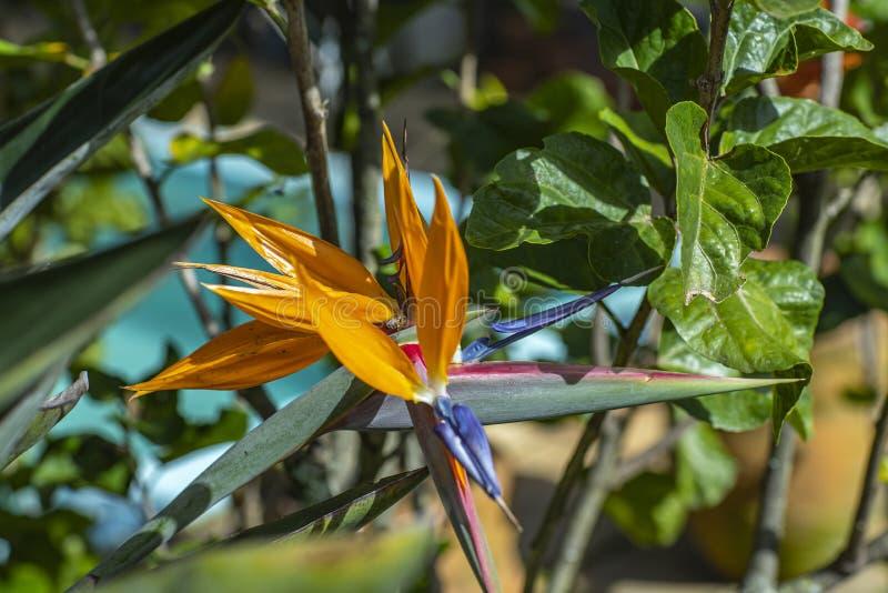 Roślina ptak raj z pszczołą Insekty na strelitzia w ogródzie botanicznym fotografia stock