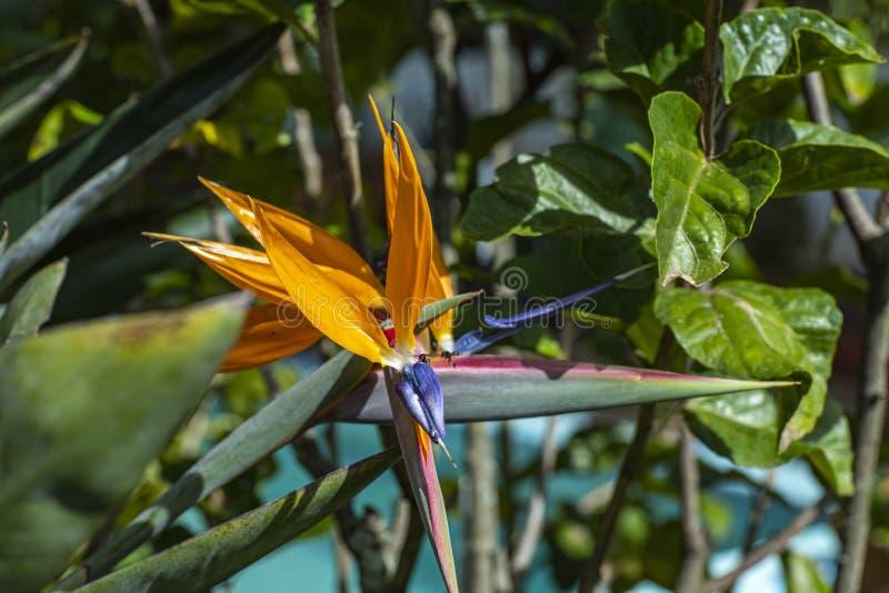 Roślina ptak raj z pszczołą Insekty na strelitzia w ogródzie botanicznym zdjęcie stock