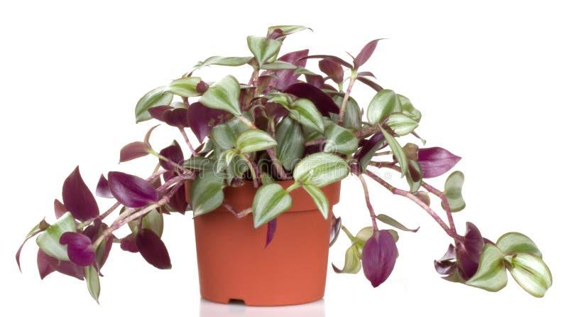 roślina puszkował zdjęcie royalty free