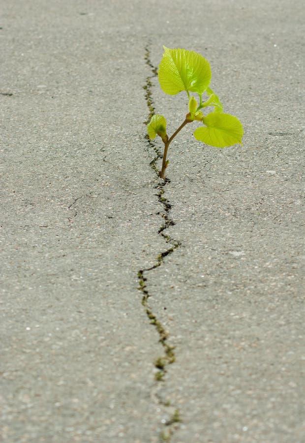 roślina r od pęknięcia w asfalcie obraz stock