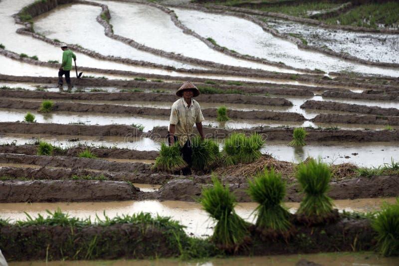 Roślina ryż zdjęcia royalty free