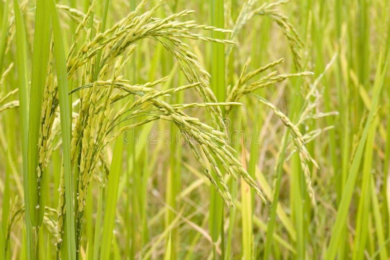 roślina ryżu fotografia royalty free