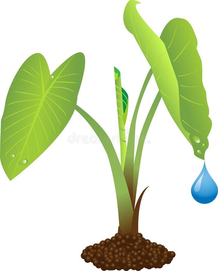 roślina taro royalty ilustracja