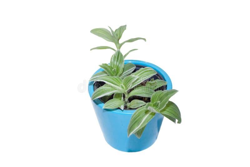 Roślina Tradescantia albiflora z zielonymi i białymi liśćmi paskowymi Roślina domowa obrazy royalty free