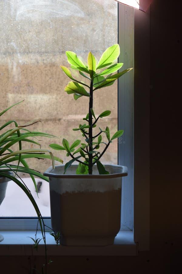 Roślina w garnku jest na windowsill fotografia stock
