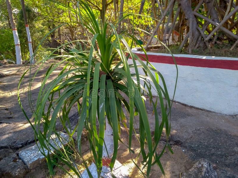 Roślina w ogrodzie rocka w ranchi jharkhand india zdjęcia royalty free