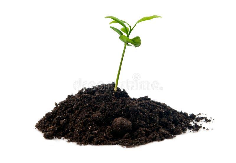Roślina w ziemi odizolowywającej zdjęcia royalty free