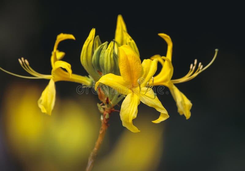Roślina Yellow Azalea obrazy royalty free