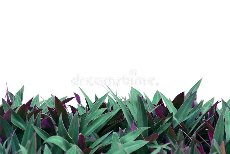 Roślina z brzmienie liśćmi odizolowywającymi na białym tle zdjęcie stock