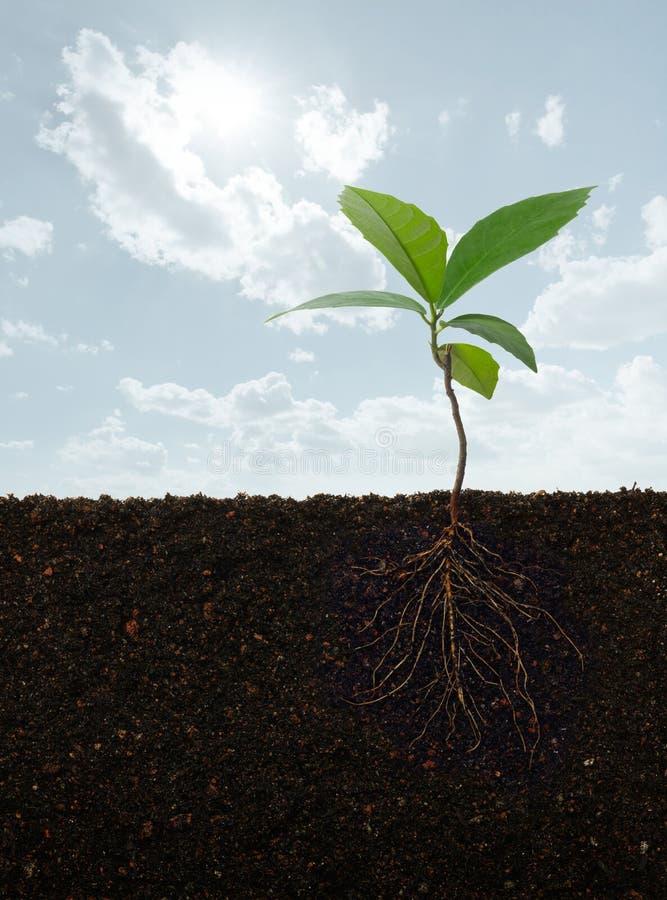 Roślina z korzeniami obraz royalty free