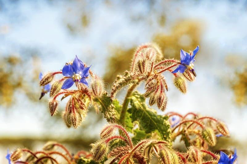 Roślina z kwiatami i borage pączkami zdjęcia royalty free