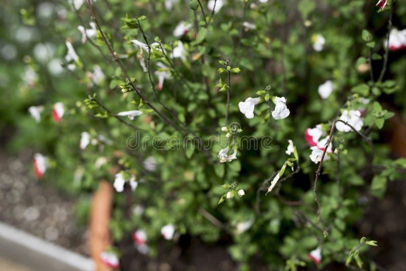Roślina z zieleń liśćmi i małymi okwitnięciami obrazy stock