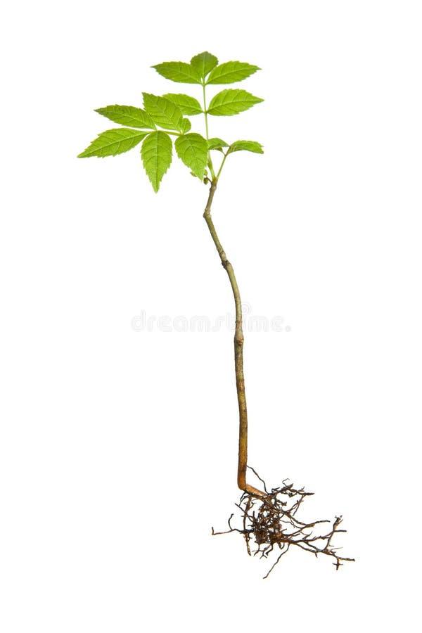 roślina zakorzenia potomstwa obrazy stock