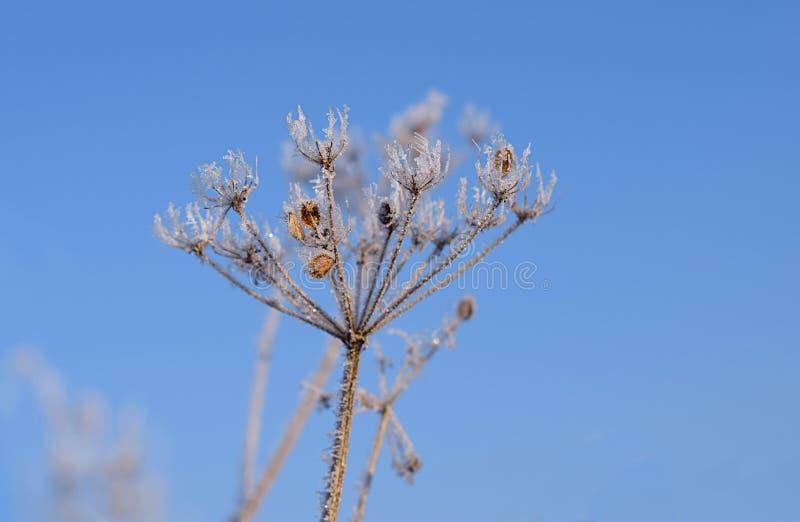 Roślina zakrywająca z mrozem na pogodnym zima dniu fotografia royalty free