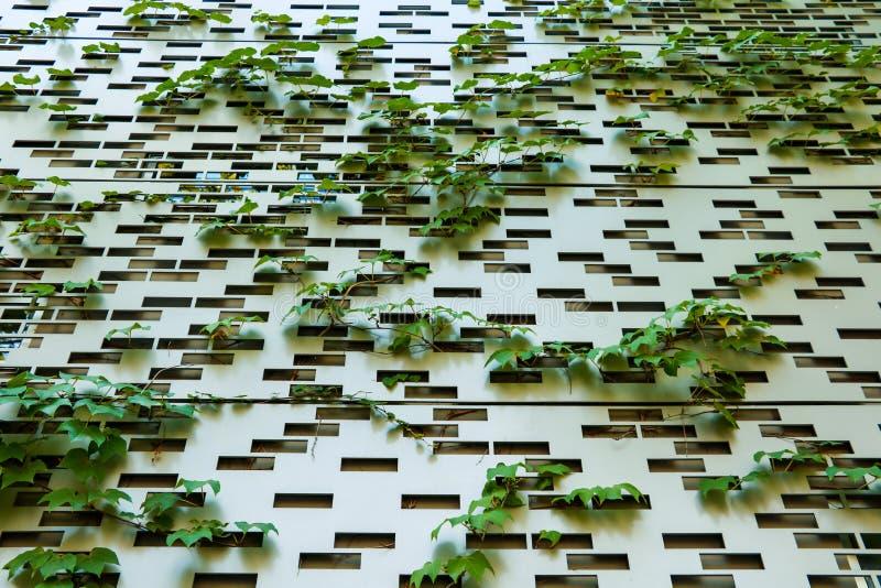 Roślina zieleni pełzacze na ścianie tworzą pięknego tło zdjęcia stock