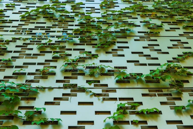 Roślina zieleni pełzacze na ścianie tworzą pięknego tło zdjęcia royalty free