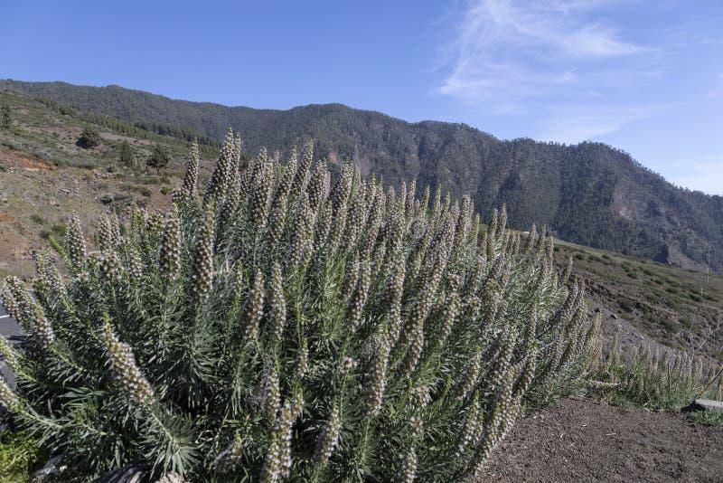 Roślinność na Teneryfie krajobrazu górskiego zdjęcia royalty free